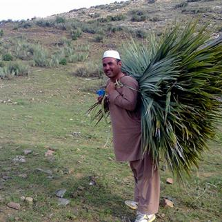 Gathering palm leaves in Khost, Afghanistan. (Photo: Ahmad Shah)