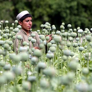 An Afghan child cuts into a poppy bulb to extract the sap, which will be used to make opium, in the Tora Bora region of Afghanistan. (Photo: Joe Raedle/Getty Images)