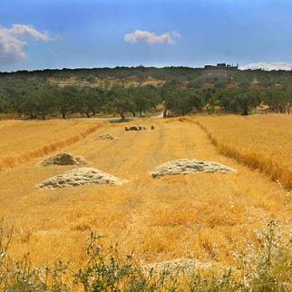A wheat field and olive grove in Kfar Nabel. (Photo: Hadia Mansour)