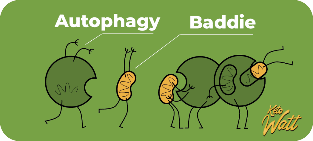 Autophagy is cleaning mess