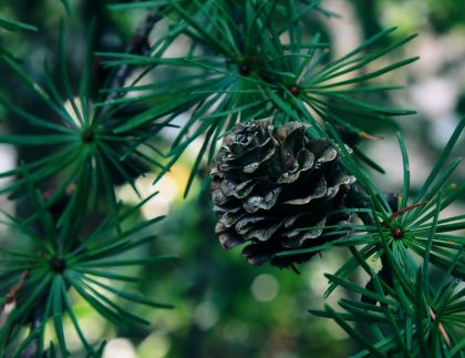 Pruning Evergreen Trees
