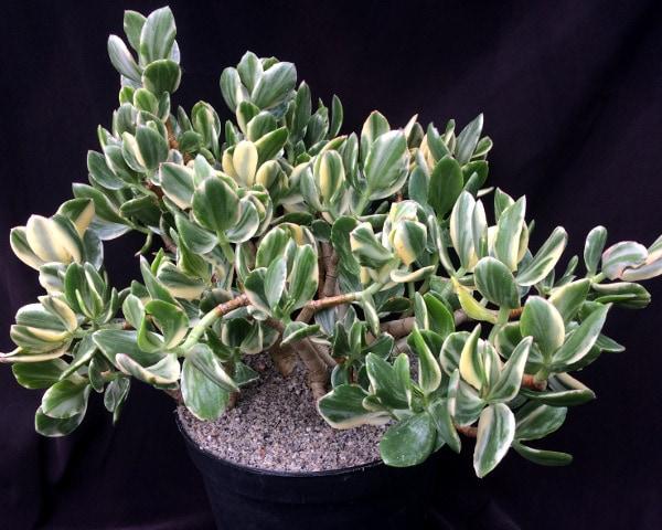 crassula ovata variegata mother 3 416x333 - Crassula ovata variegata