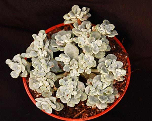 dsc0118 416x333 - Sedum spathulifolium 'Cape Blanco'