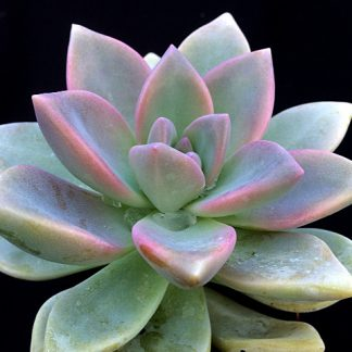 graptoveria ghosty 02 324x324 - x Graptosedum 'Ghosty'