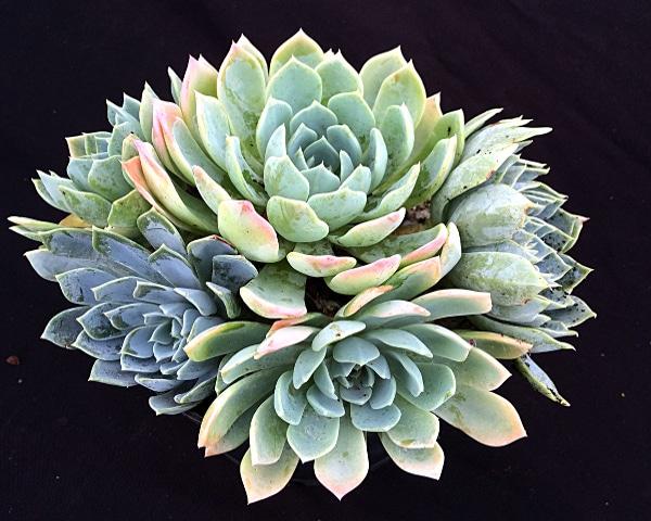 tolucensis 416x333 - Echeveria tolucensis