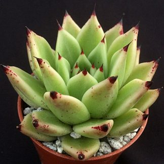 Arrow 2 324x324 - Echeveria agavoides 'Arrow'