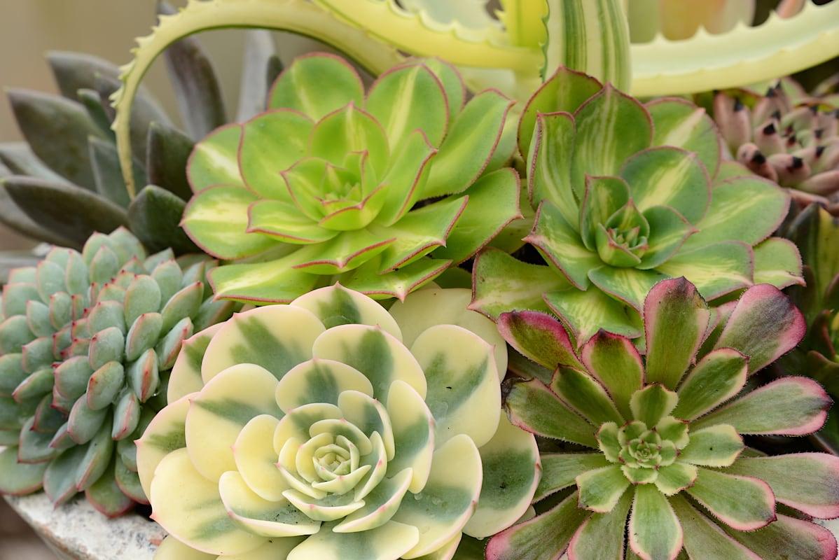 Varigated Succulents