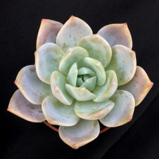 Blue star 04 324x324 - Echeveria 'Blue Star'