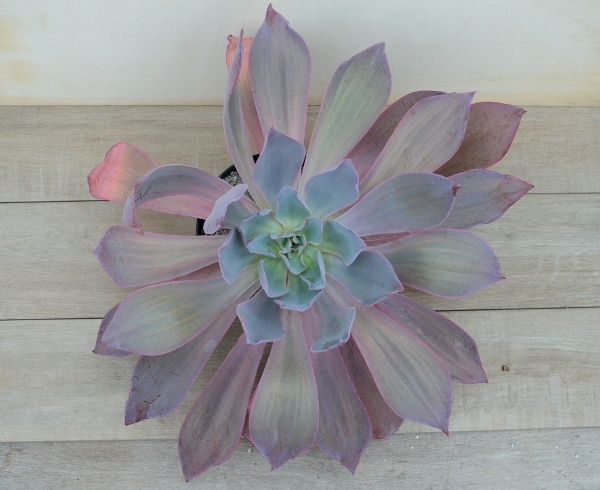 afterglow mother 1 416x340 - Echeveria 'Afterglow'