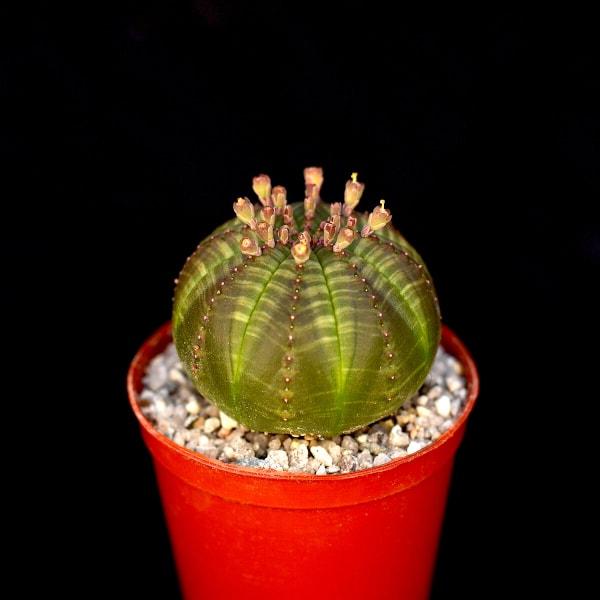 Euphorbia obesa 324x324 - New In