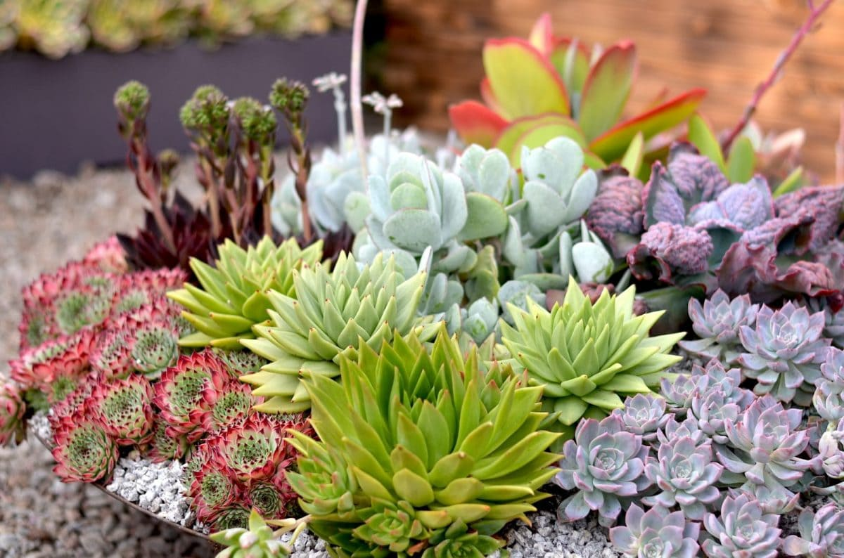 Tremenheere Nursery 2019 Succulent Mix