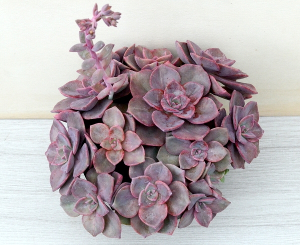 mrs richards mother 1 416x340 - x Graptoveria 'Mrs Richards'