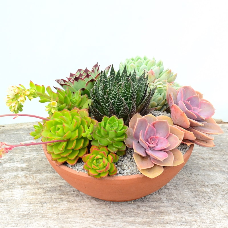 Succulent Terracotta Bowl On Wooden Surface