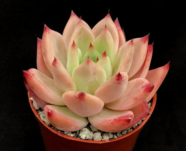 purple 1 416x340 - Echeveria 'Candy Crush'