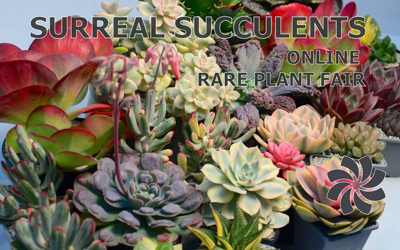 Banner 1 01 360x225 - Echeveria 'Candy Crush'
