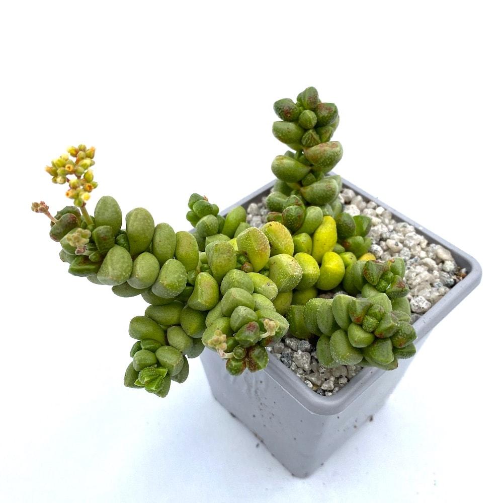 Crassula elegens 1 324x324 - Rare Plant Fair