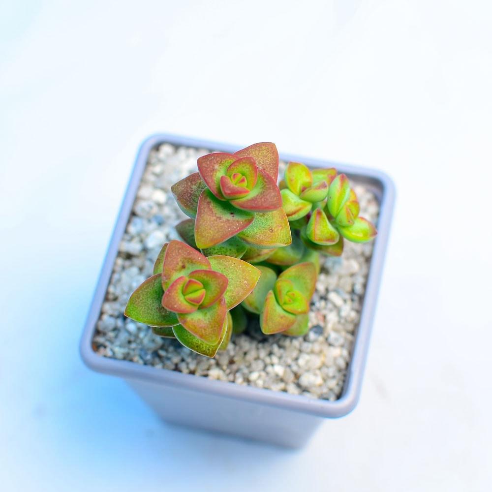 Crassula rupestris LoveStar 1 324x324 - Rare Plant Fair