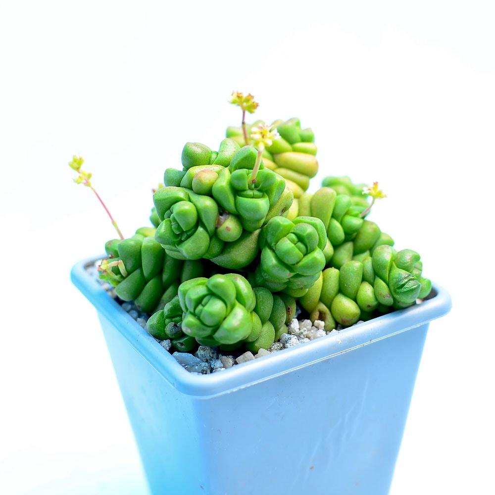 Crassula x marchandii 1  324x324 - Rare Plant Fair