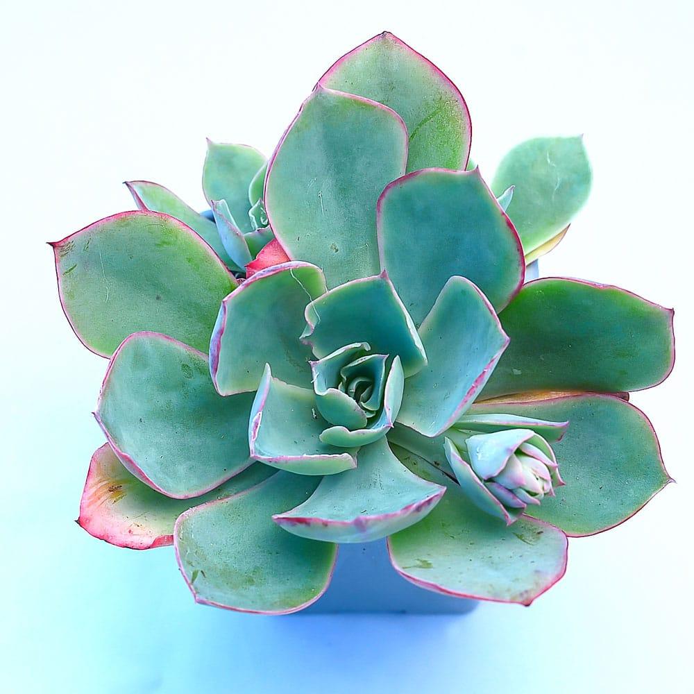 Echeveria lozano 1 324x324 - Rare Plant Fair