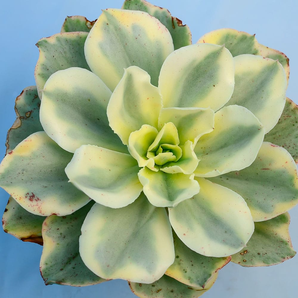 Echeveria moonriver 1 324x324 - Echeveria 'Moon River'