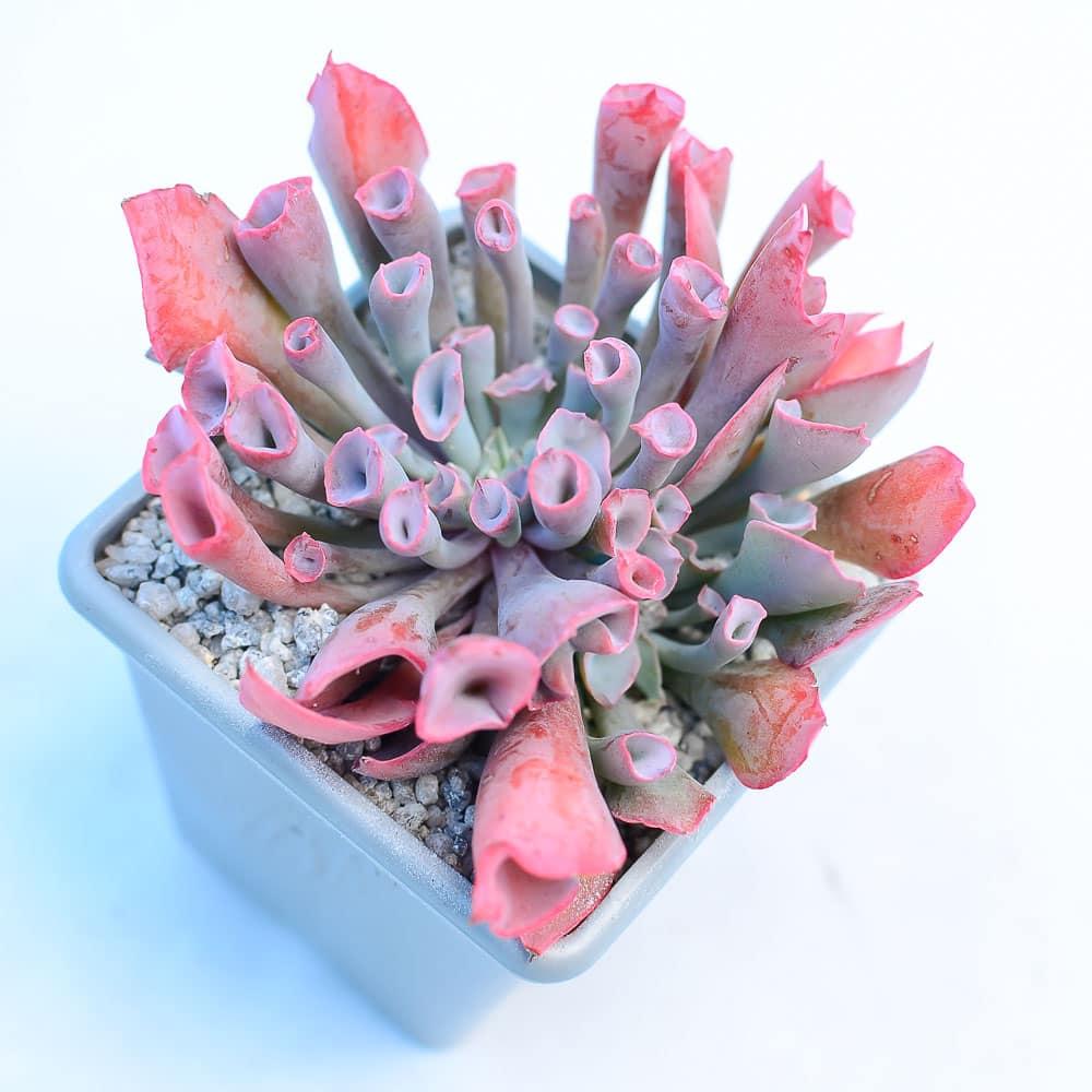 Echeveria pinky Tubular leaf 1 416x416 - Echeveria 'Trumpet Pinky'