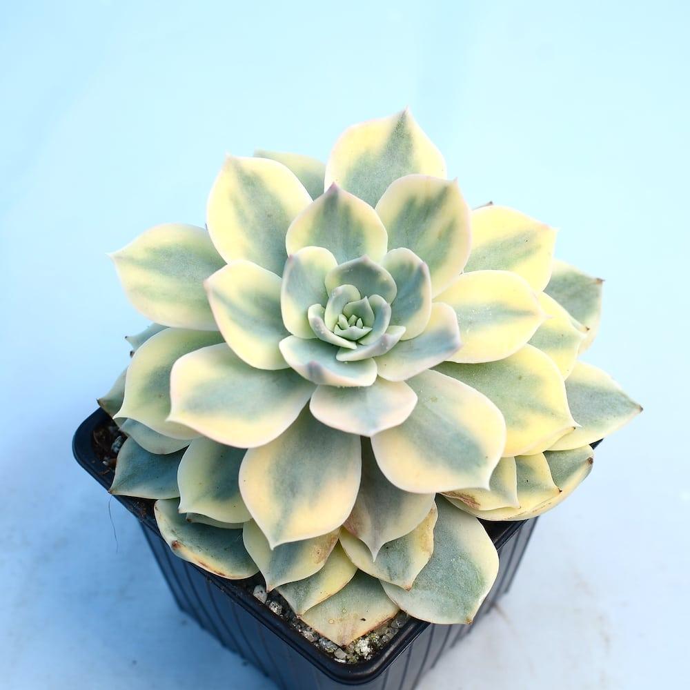 Echeveria subsessilis variegated 1 1 324x324 - Rare Plant Fair