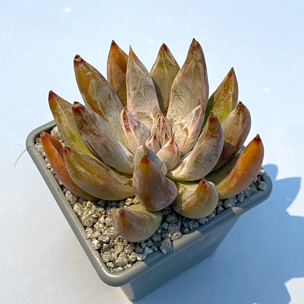 Echeveria tolimanensis 1 324x324 - Rare Plant Fair