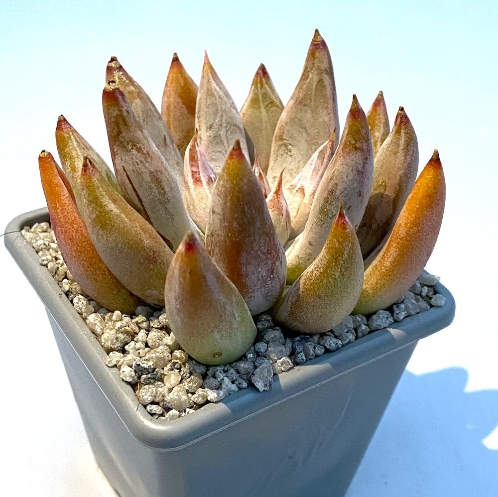 Echeveria tolimanensis 3 416x415 - Echeveria tolimanensis