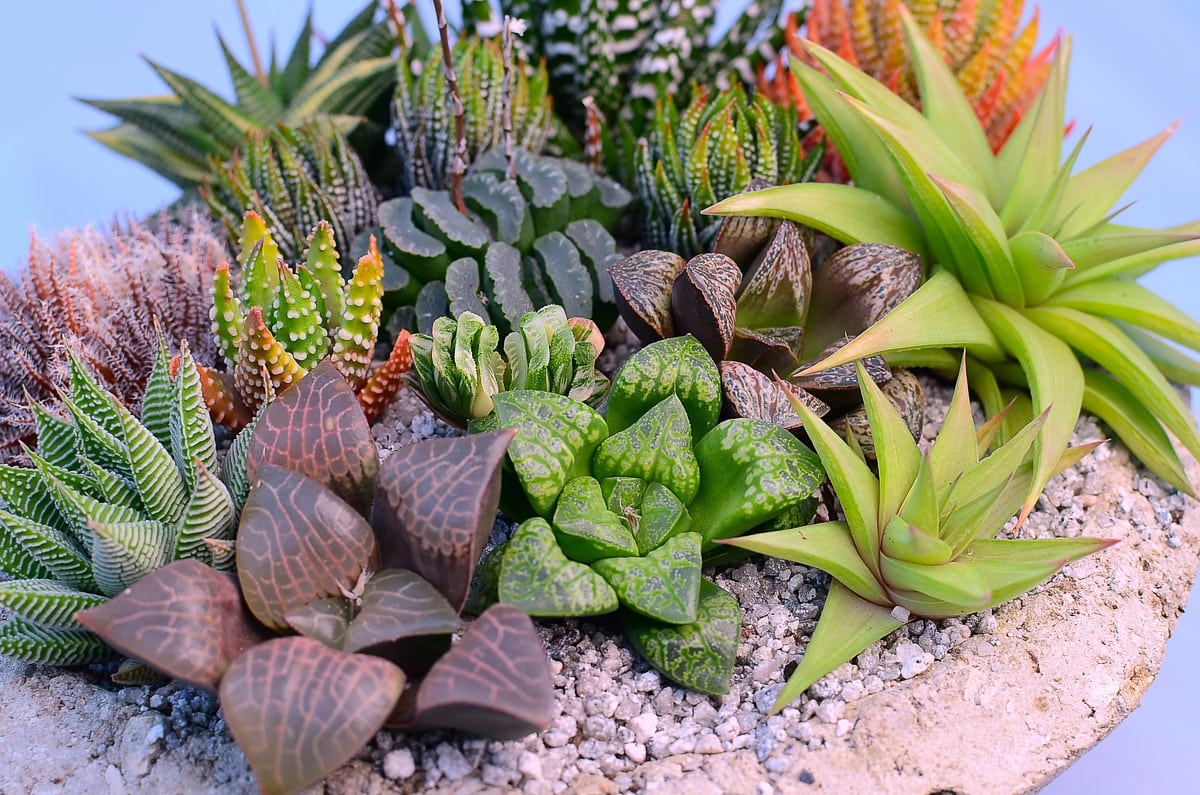 Haworthia Pic 1 - Haworthia Care Guide
