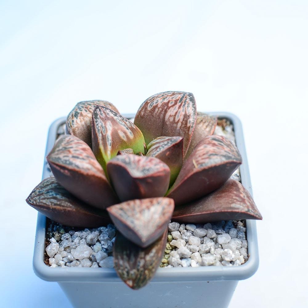 Haworthia Incarose 2 416x416 - Haworthia 'Inca Rose'