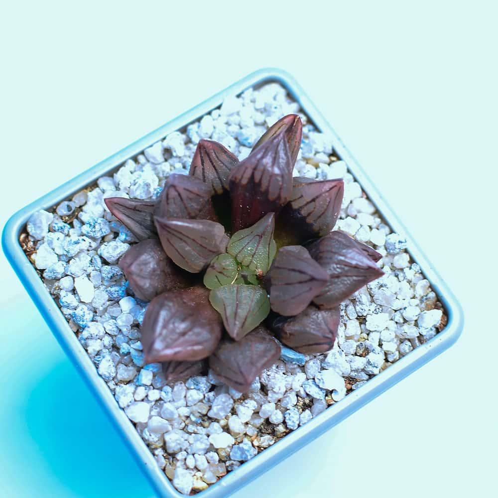 Haworthia Magnifica v atrofuscamutant 1 324x324 - Rare Plant Fair