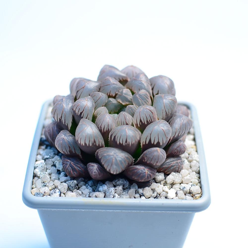 Haworthia cooperi OB1 1 324x324 - Rare Plant Fair