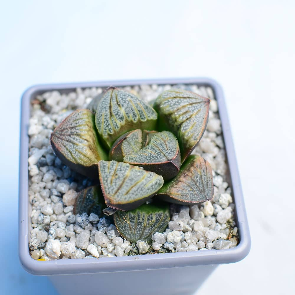 Haworthia splendens Aries 3 416x416 - Haworthia splendens 'Aries'