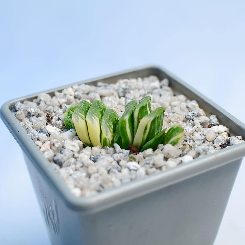 Haworthia truncata f variegata 1 324x324 - Rare Plant Fair