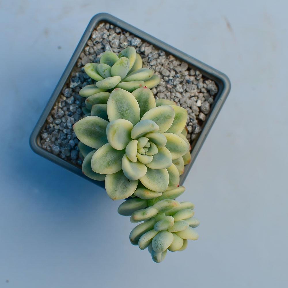 Sedum clavatum variegated 3 416x416 - Sedum clavatum f. variegata
