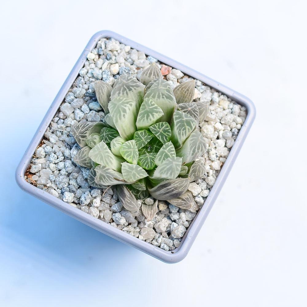 haworthia cooperii white variegation 1 324x324 - Rare Plant Fair