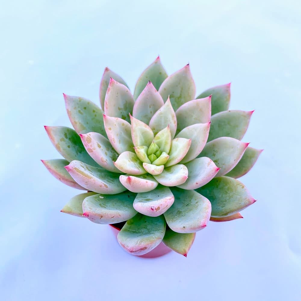 xGraptoveria Green form Nyla2 1 324x324 - x Graptoveria 'Nyla Blue'