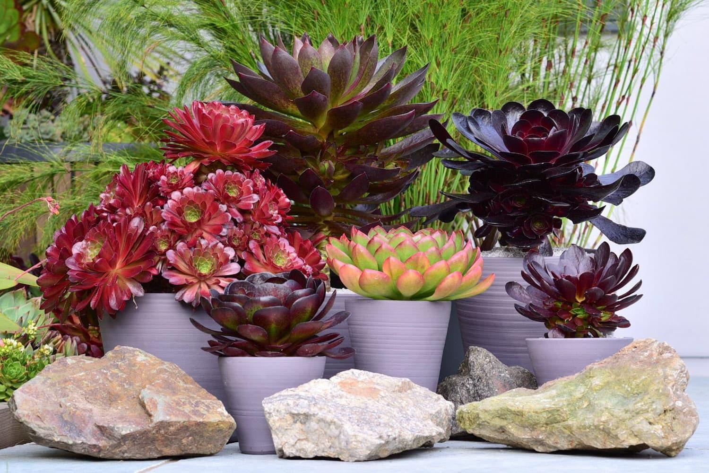Semponium Variety