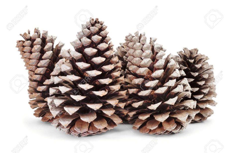 piñas de pino