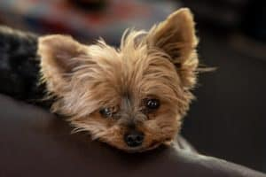 Best Dog Bed For Yorkies