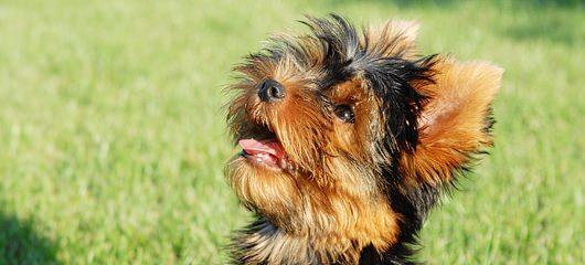 Cukrček Cuki - jorkširski terier - yorkshire terier - fotografije