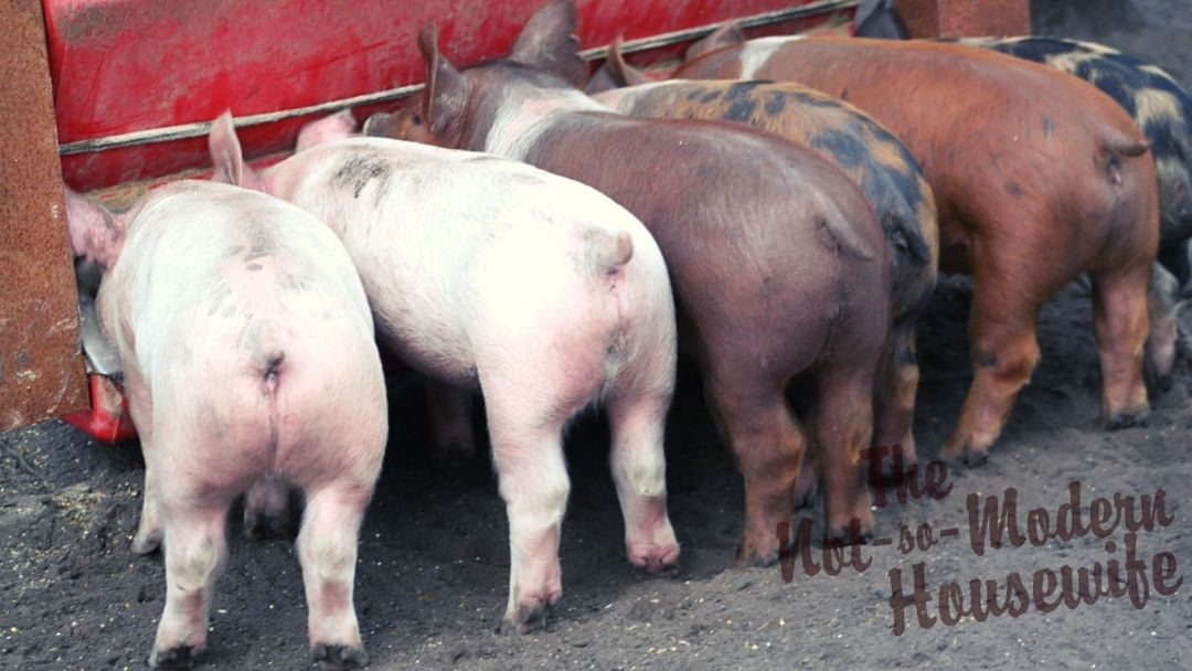 Raising Pigs for Meat – Why Every Rural Homestead Should Have a Pig