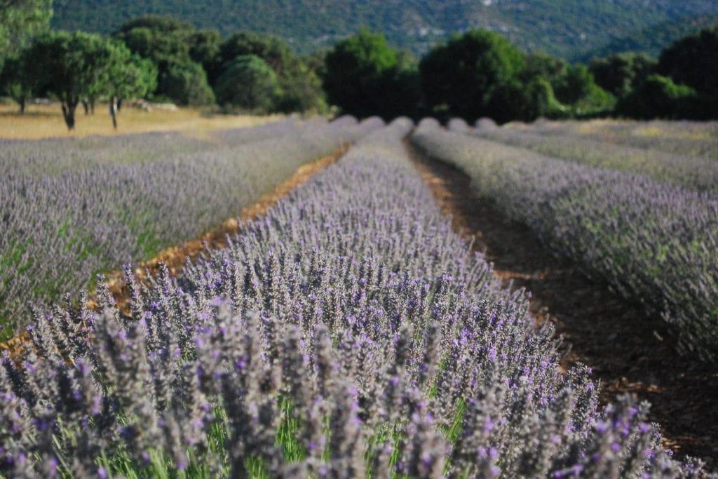 lavandin-field