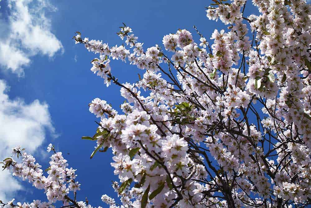 Almond Blossoms in Spain