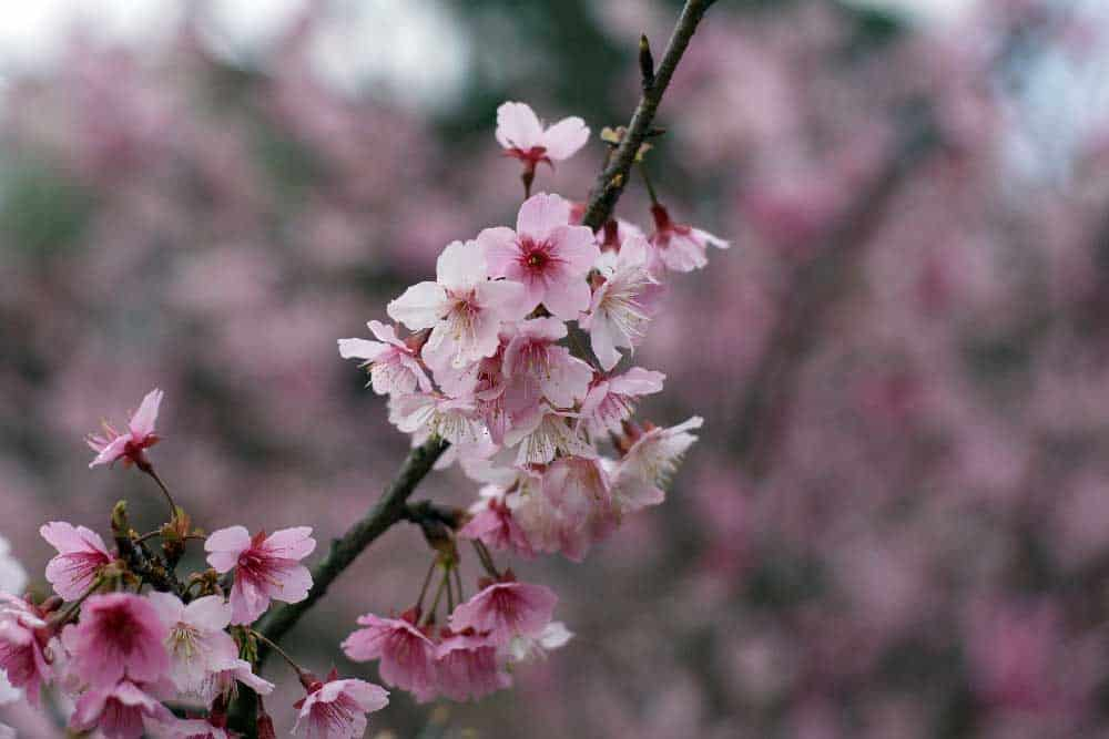 Cherry Blossoms in Wulai