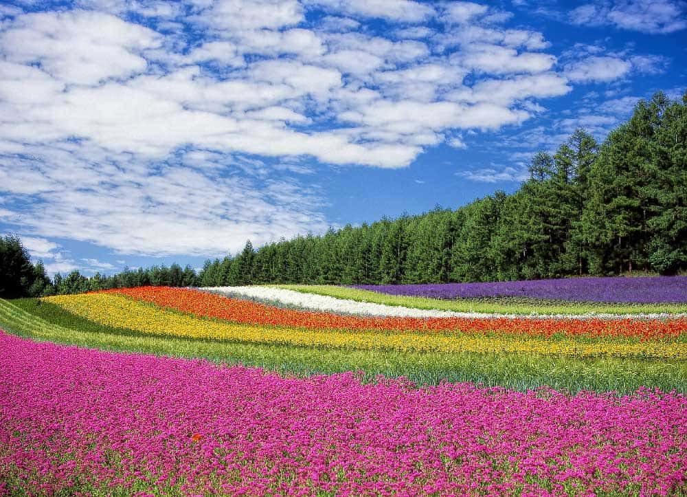 Flowers in Furano