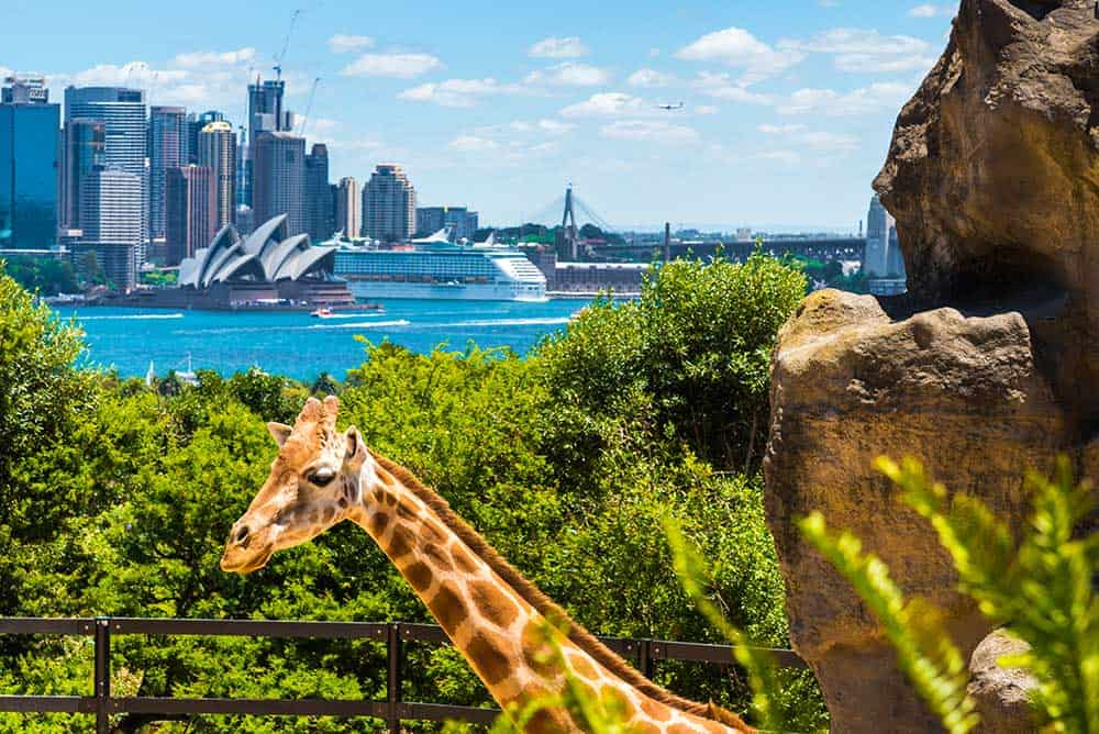 Giraffe at Taronga Zoo in Sydney