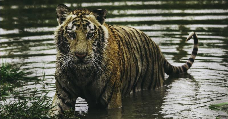 wet cat tiger