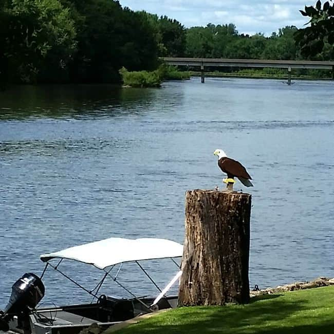 Eagle by the river