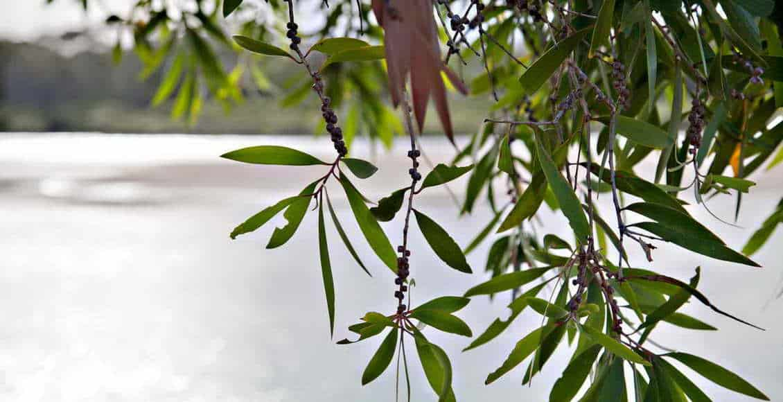tea-tree-arbre-the